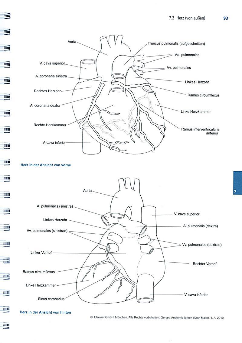 Charmant Das Herz Anatomie Lernen Zeitgenössisch - Menschliche ...