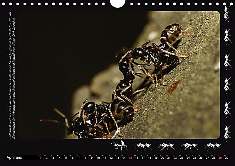 Antsnature faszination ameisen wandkalender 2018 din a4 quer kalender bestellen - Ameisen in der wand ...