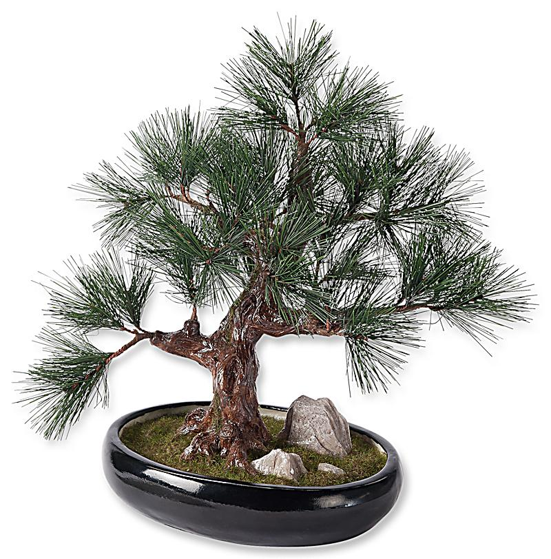 bonsai kiefer im topf jetzt bei bestellen. Black Bedroom Furniture Sets. Home Design Ideas