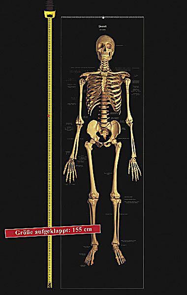 Das menschliche Skelett, Studien-Posterbuch Buch - Weltbild.de