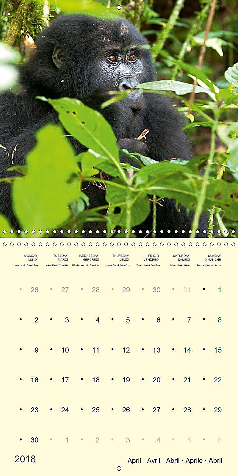 Calendar Uganda : Facing mountain gorillas in uganda wall calendar