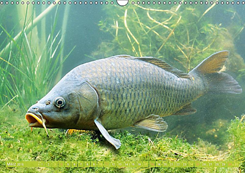 Fische in teichen und fl ssen wandkalender 2018 din a3 for Fische in teichen