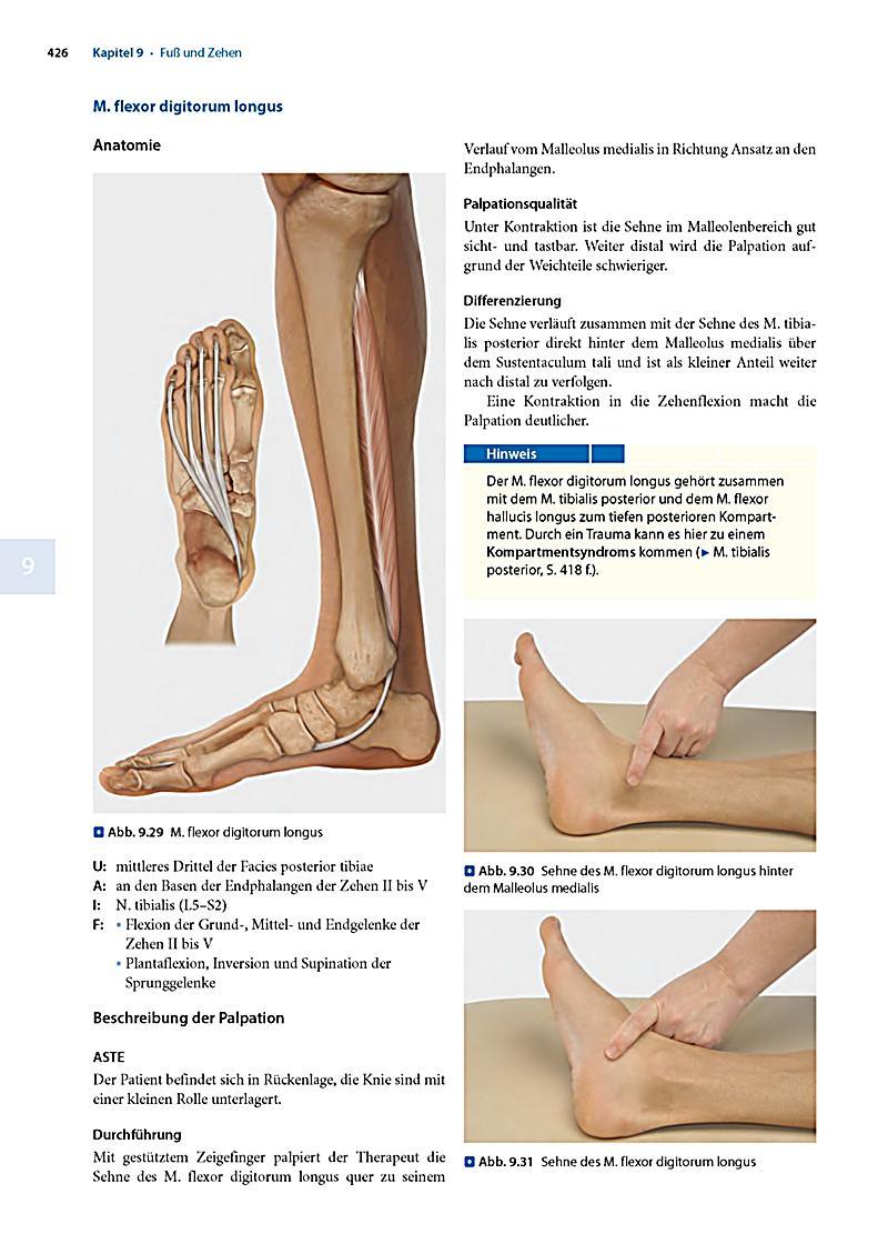 Charmant Tibialis Posterior Sehne Anatomie Galerie - Anatomie Von ...