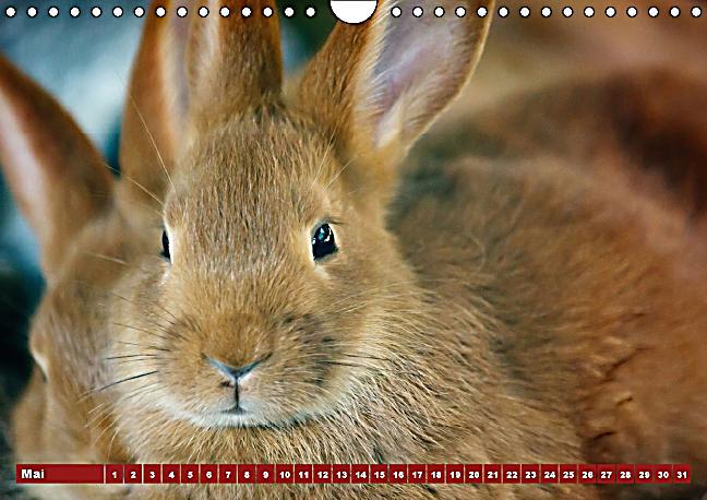 kaninchen und hasen wandkalender immerw hrend din a4 quer kalender bestellen. Black Bedroom Furniture Sets. Home Design Ideas