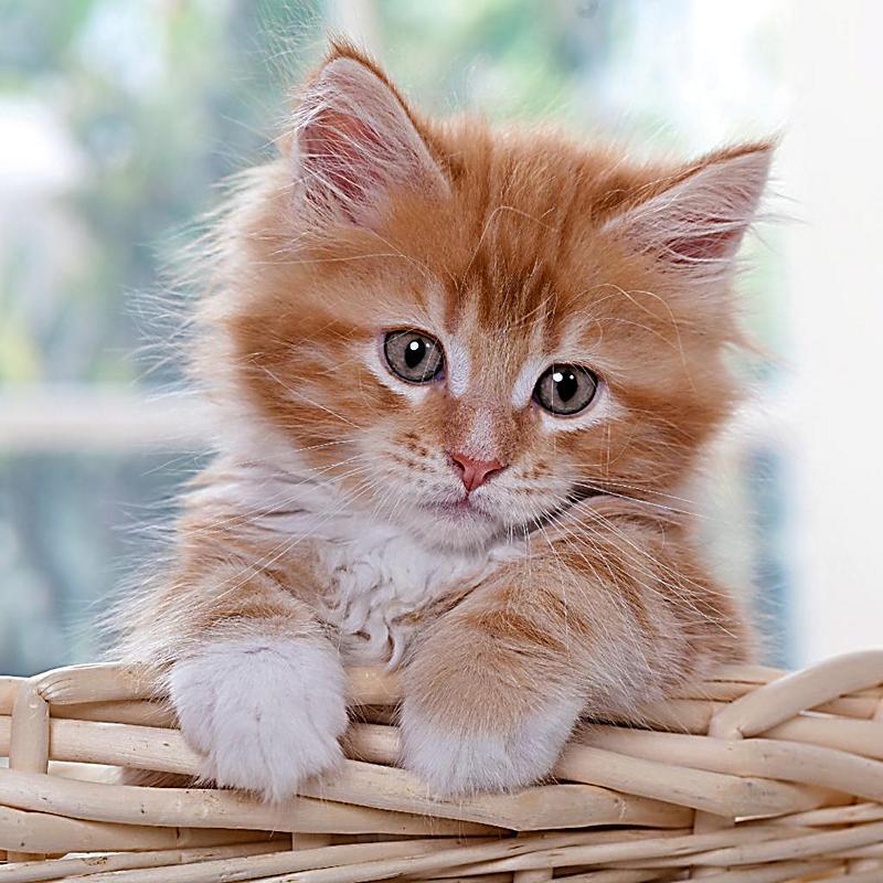 Katzenbabys Kittens 2018 - Kalender bei Weltbild.at bestellen
