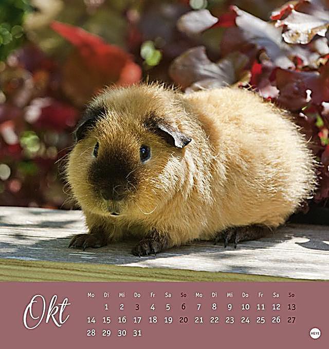 kuschelige meerschweinchen postkartenkalender 2019. Black Bedroom Furniture Sets. Home Design Ideas
