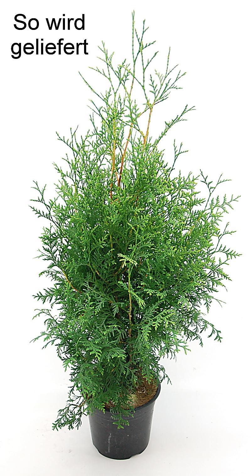 Lebensbaum Hecke 40 60cm Midi 4 Pflanzen
