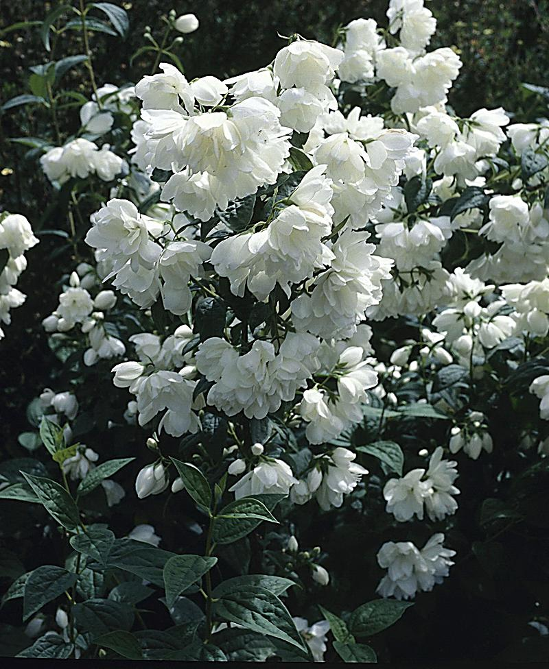 philadelphus virginal falscher jasmin 1 pflanze 3liter. Black Bedroom Furniture Sets. Home Design Ideas