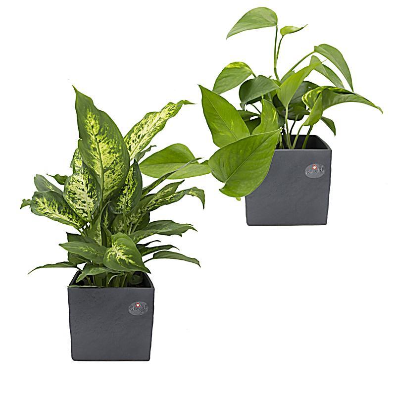 Regenwald zimmerpflanzen duo im scheurich w rfeltopf for Zimmerpflanzen trend