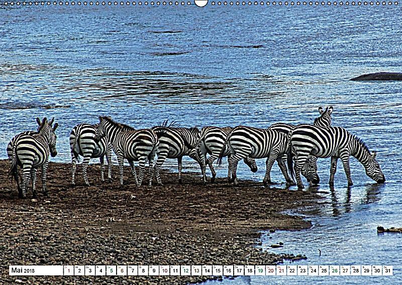 streifen zebras in freier wildbahn wandkalender 2018 din a2 quer dieser erfolgreiche kalender. Black Bedroom Furniture Sets. Home Design Ideas