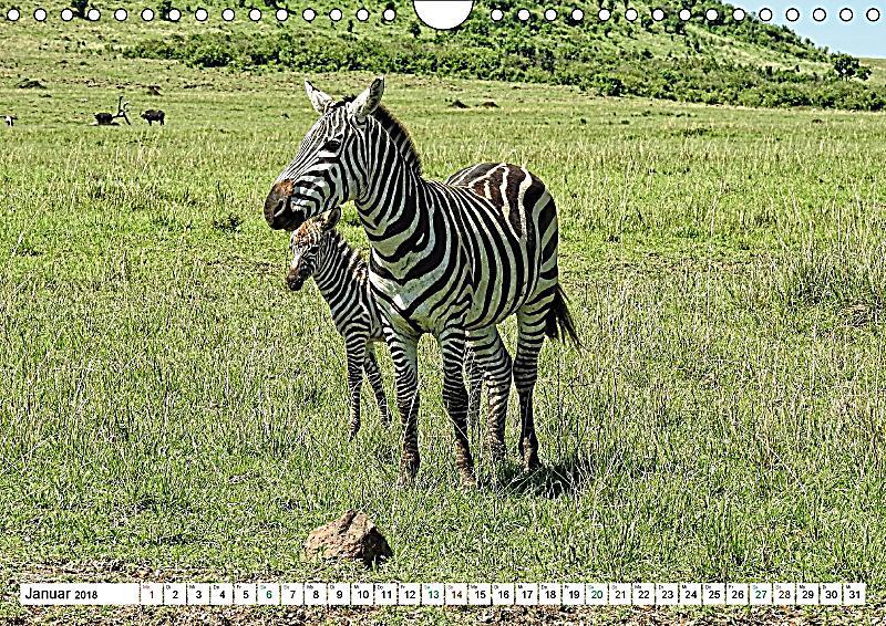 streifen zebras in freier wildbahn wandkalender 2018 din a4 quer dieser erfolgreiche kalender. Black Bedroom Furniture Sets. Home Design Ideas