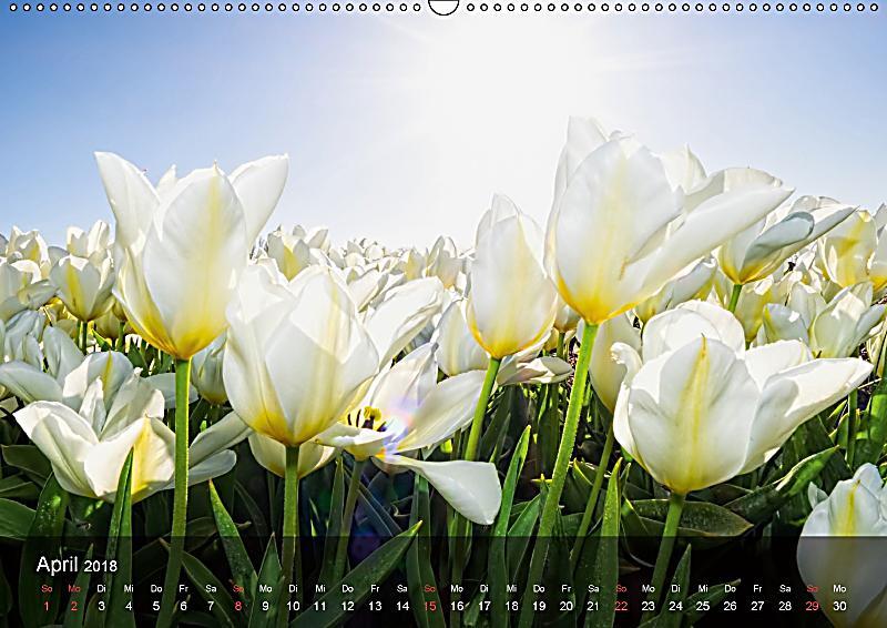 Tulpen aus holland wandkalender 2018 din a2 quer for Deko aus holland