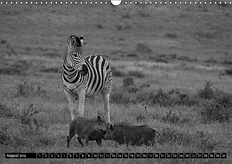 zebras mehr als nur streifen wandkalender 2018 din a3 quer kalender bestellen. Black Bedroom Furniture Sets. Home Design Ideas