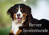 Berner Sennenhunde (Wandkalender 2017 DIN A4 quer)