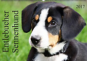 Entlebucher Sennenhund (Wandkalender 2017 DIN A2 quer)