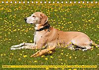 Azawakh-Ridgeback Hund in gelb (Tischkalender 2018 DIN A5 quer) - Produktdetailbild 1