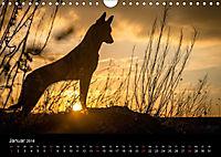 Belgische Schäferhunde - Der Malinois im Licht (Wandkalender 2018 DIN A4 quer) - Produktdetailbild 1