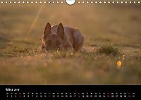 Belgische Schäferhunde - Der Malinois im Licht (Wandkalender 2018 DIN A4 quer) - Produktdetailbild 3