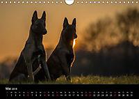 Belgische Schäferhunde - Der Malinois im Licht (Wandkalender 2018 DIN A4 quer) - Produktdetailbild 5