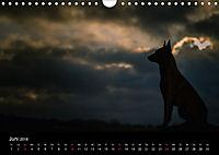 Belgische Schäferhunde - Der Malinois im Licht (Wandkalender 2018 DIN A4 quer) - Produktdetailbild 6