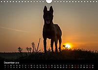 Belgische Schäferhunde - Der Malinois im Licht (Wandkalender 2018 DIN A4 quer) - Produktdetailbild 12