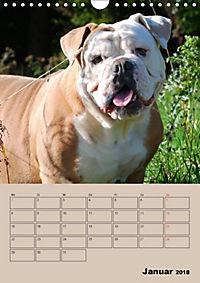 Bulldoggen-Gesichter (Wandkalender 2018 DIN A4 hoch) Dieser erfolgreiche Kalender wurde dieses Jahr mit gleichen Bildern - Produktdetailbild 1