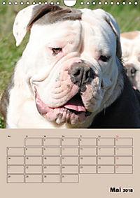 Bulldoggen-Gesichter (Wandkalender 2018 DIN A4 hoch) Dieser erfolgreiche Kalender wurde dieses Jahr mit gleichen Bildern - Produktdetailbild 5
