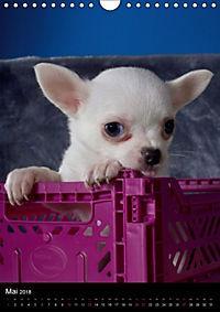 Chihuahua Welpen (Wandkalender 2018 DIN A4 hoch) - Produktdetailbild 5