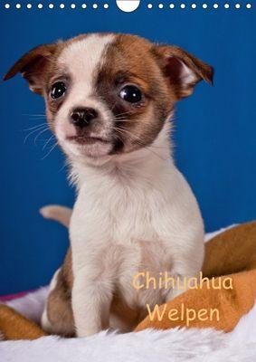 Chihuahua Welpen (Wandkalender 2018 DIN A4 hoch), Gabriela Wejat-Zaretzke