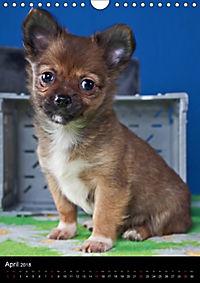 Chihuahua Welpen (Wandkalender 2018 DIN A4 hoch) - Produktdetailbild 4