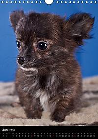 Chihuahua Welpen (Wandkalender 2018 DIN A4 hoch) - Produktdetailbild 6