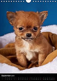 Chihuahua Welpen (Wandkalender 2018 DIN A4 hoch) - Produktdetailbild 9