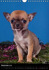 Chihuahua Welpen (Wandkalender 2018 DIN A4 hoch) - Produktdetailbild 12