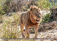 Die Welt der Löwen (Wandkalender 2018 DIN A2 quer) - Produktdetailbild 8