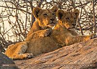 Die Welt der Löwen (Wandkalender 2018 DIN A3 quer) - Produktdetailbild 6