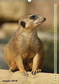 Erdmännchen-Meerkats-Surikate (Wandkalender 2018 DIN A3 hoch) - Produktdetailbild 1
