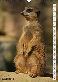 Erdmännchen-Meerkats-Surikate (Wandkalender 2018 DIN A3 hoch) - Produktdetailbild 4