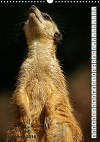 Erdmännchen-Meerkats-Surikate (Wandkalender 2018 DIN A3 hoch) - Produktdetailbild 11