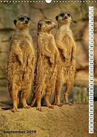 Erdmännchen-Meerkats-Surikate (Wandkalender 2018 DIN A3 hoch) - Produktdetailbild 9