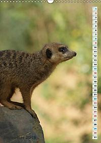 Erdmännchen-Meerkats-Surikate (Wandkalender 2018 DIN A3 hoch) - Produktdetailbild 12