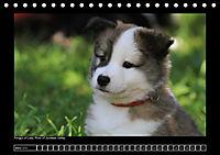 Islandhund - Welpen (Tischkalender 2018 DIN A5 quer) - Produktdetailbild 3