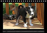 Islandhund - Welpen (Tischkalender 2018 DIN A5 quer) - Produktdetailbild 8