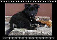 Islandhund - Welpen (Tischkalender 2018 DIN A5 quer) - Produktdetailbild 7