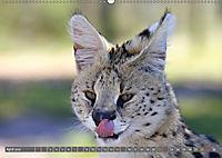 Katzen Afrikas (Wandkalender 2018 DIN A2 quer) Dieser erfolgreiche Kalender wurde dieses Jahr mit gleichen Bildern und a - Produktdetailbild 4