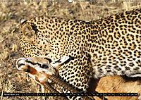 Katzen Afrikas (Wandkalender 2018 DIN A2 quer) Dieser erfolgreiche Kalender wurde dieses Jahr mit gleichen Bildern und a - Produktdetailbild 11