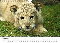 Löwen Impressionen (Wandkalender 2018 DIN A4 quer) - Produktdetailbild 4
