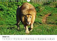 Löwen Impressionen (Wandkalender 2018 DIN A4 quer) - Produktdetailbild 1