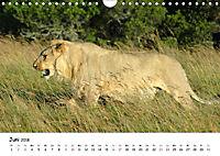Löwen Impressionen (Wandkalender 2018 DIN A4 quer) - Produktdetailbild 6