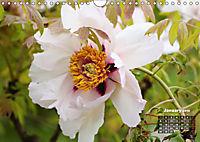 Peony Rose Without Thorns (Wall Calendar 2018 DIN A4 Landscape) - Produktdetailbild 1