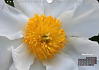 Peony Rose Without Thorns (Wall Calendar 2018 DIN A4 Landscape) - Produktdetailbild 3